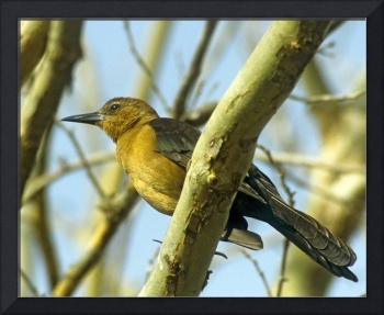 Boat-tailed Grackle Bird