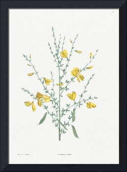 Broom Flower Vintage Botanical