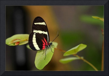 Hewitsoni Longwing Butterfly 2017