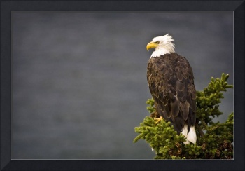 Side View Of American Bald Eagle Perched On Evergr