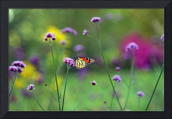 Butterfly Monarch in Garden Meadow