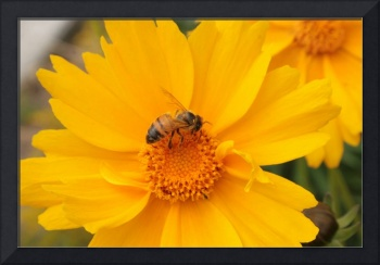 Bee Pollinating Yellow Flower