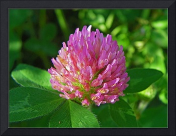 Botanical - Pink Clover - Outdoors Floral
