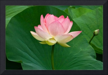 Glorious Beauty Of The Lotus