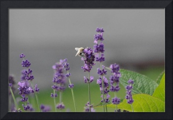 Bumblebee on Lavender I