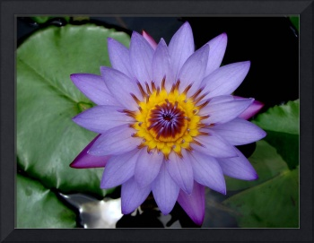 Beautiful blue lotus flower in India
