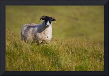 Scottish Blackface sheep on green field
