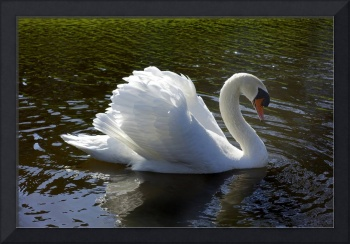 Swan swimming in a summer lake.