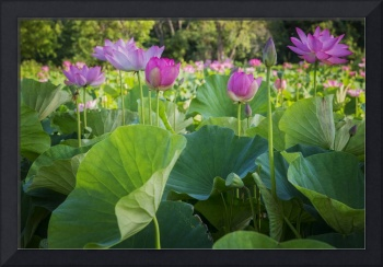 Water Lily Field in Aquatic Garden