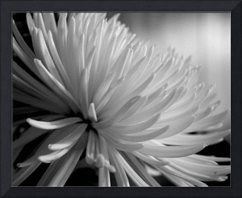 Chrysanthemum In Black And White