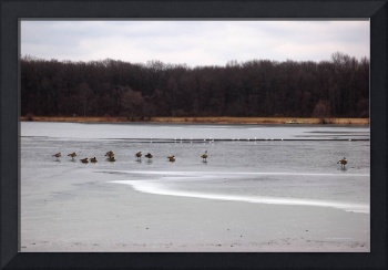 Geese and Seagulls on Frozen Lake Photo