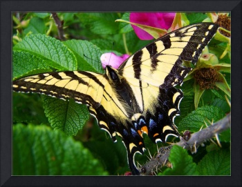 Resting Swallowtail Butterfly
