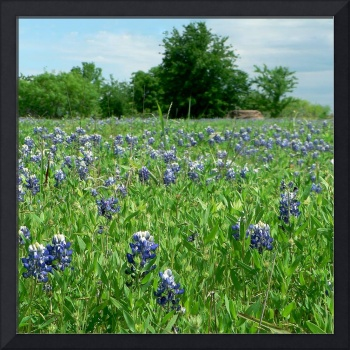 Scenic TX Wildflowers1100063