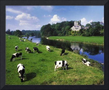 Friesian Cattle, Ballyhooley, County Cork, Ireland