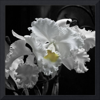 White Orchid with Yellow