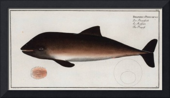 Vintage Illustration of a Dolphin (1785)