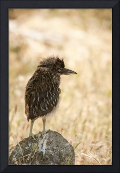 Young Black Crowned Night Heron