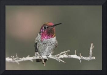 Anna's Hummingbird Photograph