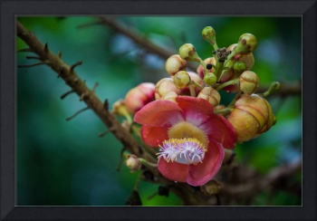 Flower of a Cannonball tree