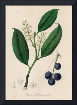 Vintage Botanical Cherry laurel