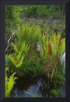 Cinnamon ferns growing in pond