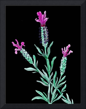 French Lavender Flower Watercolor On Black