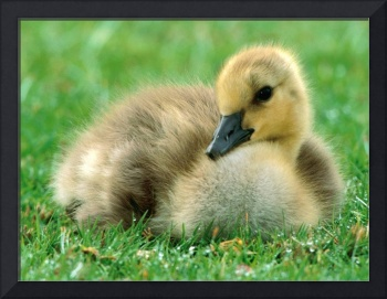 Baby Duckling In The Green Grass