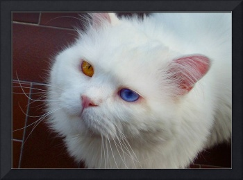 Tolomeo...the cat with eyes bicolor