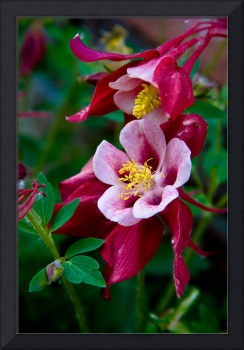 Red Columbine Flower