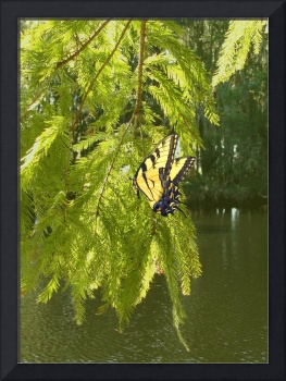 Cypress Tree and Swallowtail Butterfly