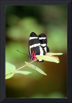 Hewitsoni Longwing Butterfly Vertical