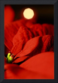 Poinsettia by Candlelight