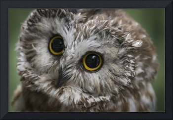 Saw Whet Owl Portrait