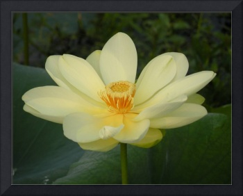 Yellow Lotus, Nelumbo lutea