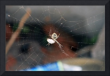 Orb Weaver Spider with Prey