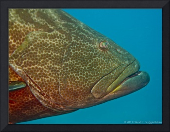 Up Close and Personal Grouper