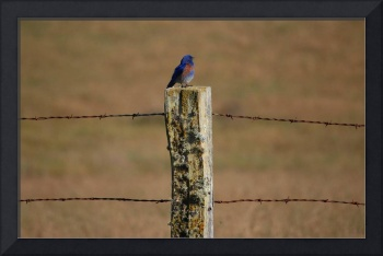 Western Bluebird on Fencepost