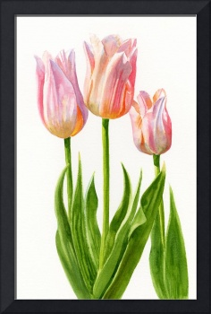 Peach Colored Tulips, White Background