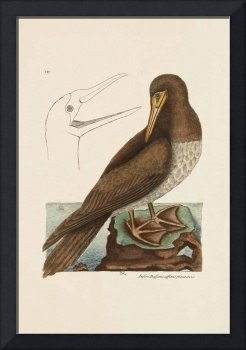 Mark Catesby~The Booby, The Natural History of Car