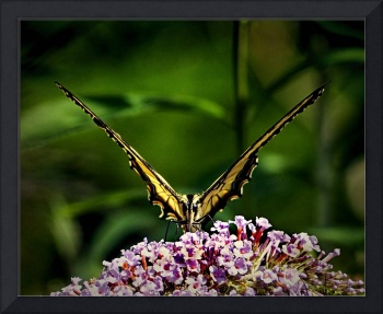 butterfly-victory-v-zoo-8050041