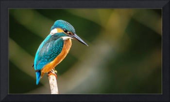 Blue Kingfisher Bird Perches On A Branch