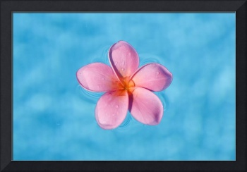 Bright Pink Plumeria Floating In Turquoise Water
