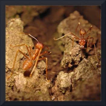 Two Red Ants