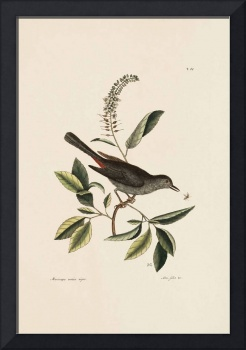 Mark Catesby~The Catbird, The Natural History of C