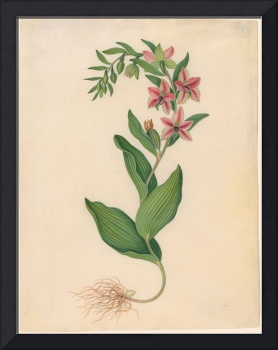 James Bolton, active 1735-1799, Showy Orchis