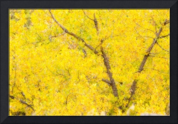 Cottonwood Autumn Color Abstract