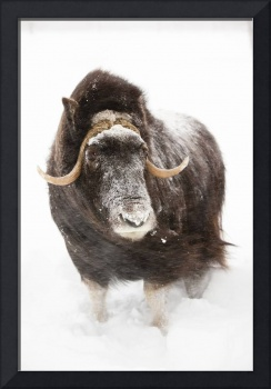 Cow muskoxen stands in deep snow during a winter s