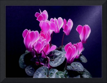 Pink Cyclamen Passion
