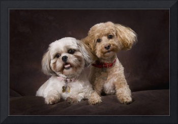 A Shihtzu And A Poodle On A Brown Backdrop