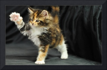 Feisty Maine Coon Kitten, The Power Of Paw